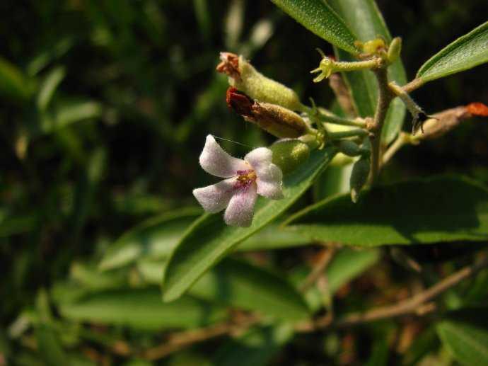 cây an xoa lá nhỏ tổ kén đực helicteres angustifolia