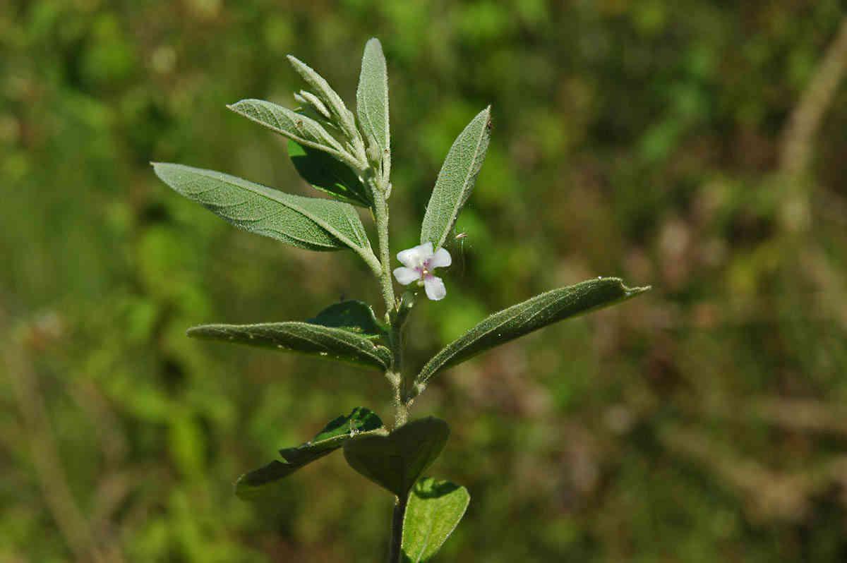 Hình ảnh cây an xoa lá nhỏ helicteres angustifolia