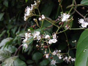 Hình ảnh hoa cây xạ đen