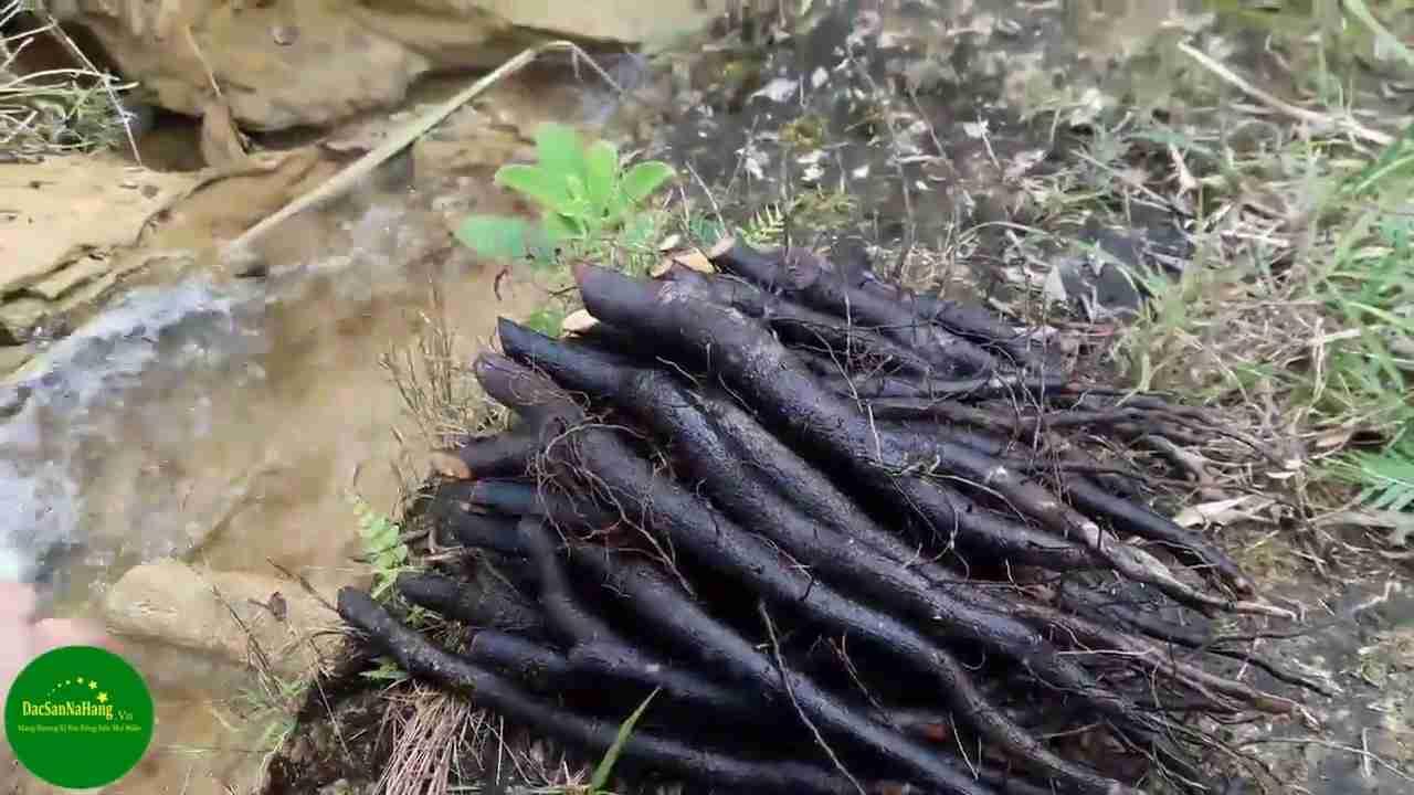 Hình ảnh rễ bổ béo đen