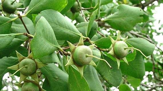 Cây bần quả bần trái bần xanh