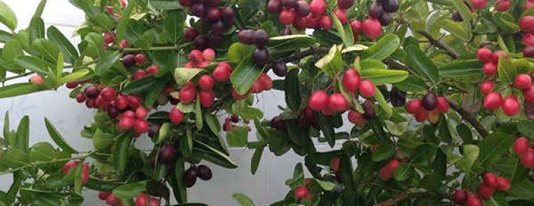 Cây siro cây si rô và quả si rô