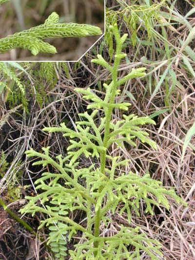 Cây thông đất đầm lầy