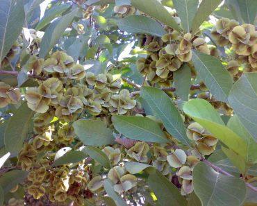 Hình ảnh cây trâm bầu