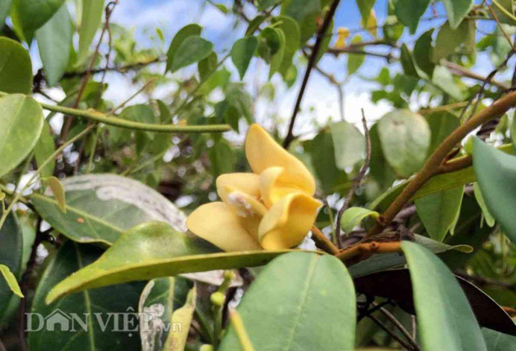 Hình ảnh hoa dủ dẻ (ảnh Dân Việt)