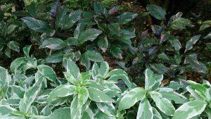 Cây ngọc diệp Graptophyllum pictum