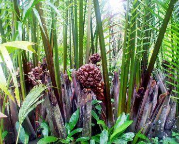 Hình ảnh cây dừa nước