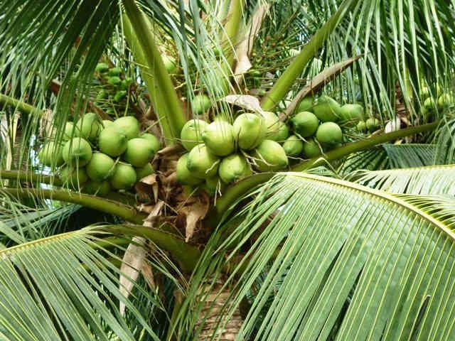công dụng của cây dừa