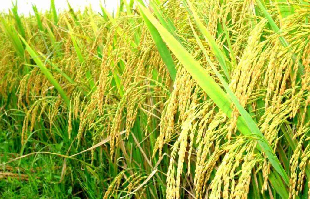 cây lúa tẻ cây lúa nước
