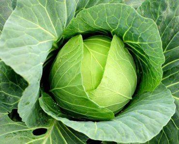 Cây cải bắp rau bắp cải