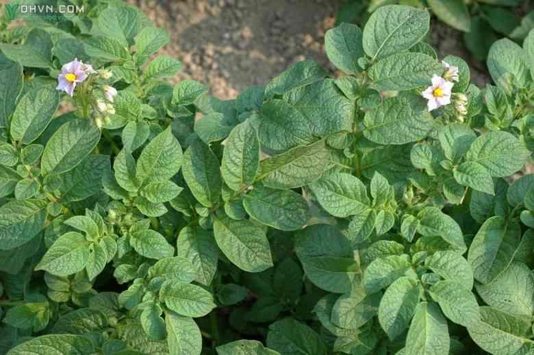 Hình ảnh cây khoai tây