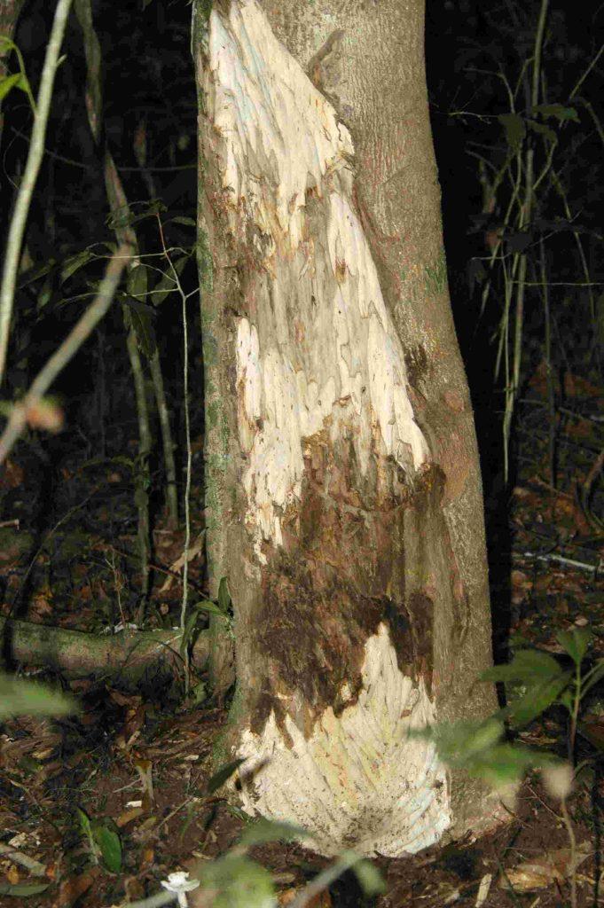 Công dụng của cây trầm hương