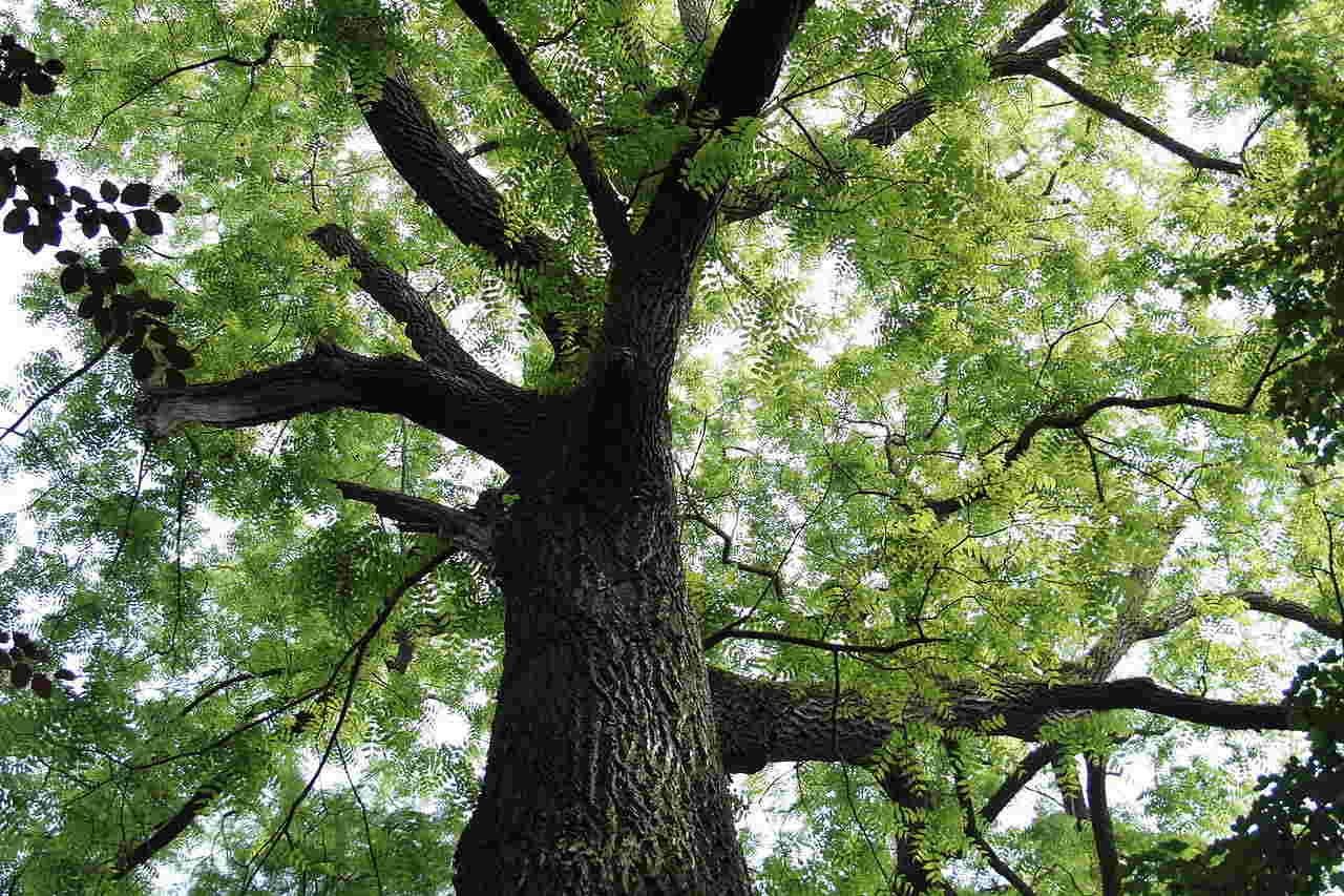 Hình ảnh cây đàn hương