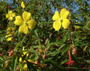 Công dụng, cách dùng cây rau mương Hình ảnh quả, lá và hoa cây rau mương