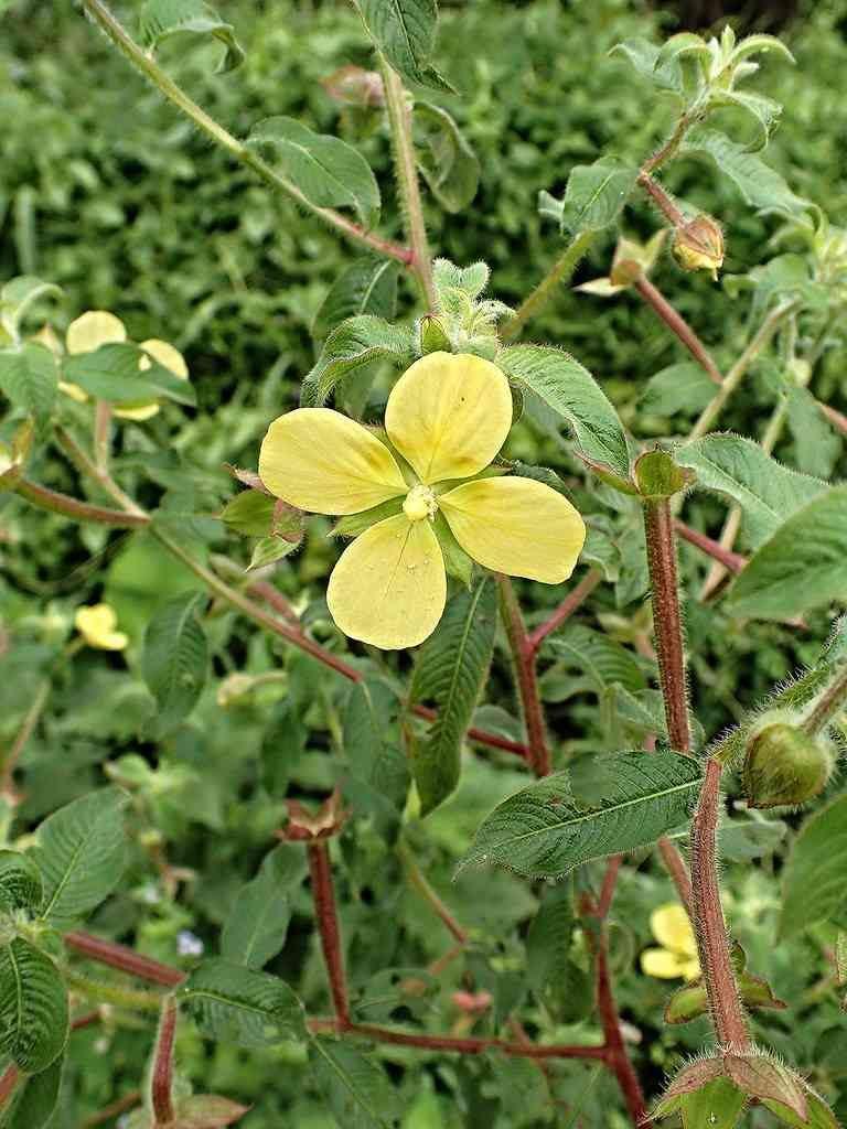 Hình ảnh hoa cây rau mương