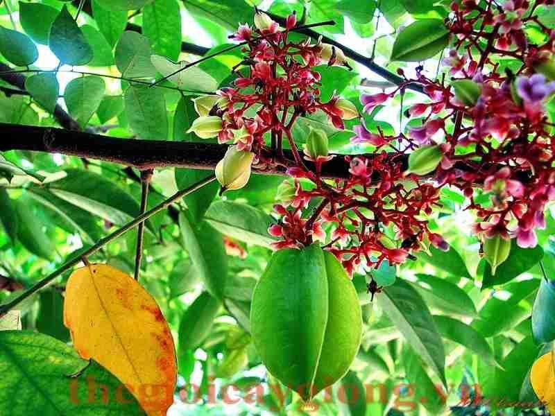 Công dụng của hoa khế lá khế và rễ cây khế