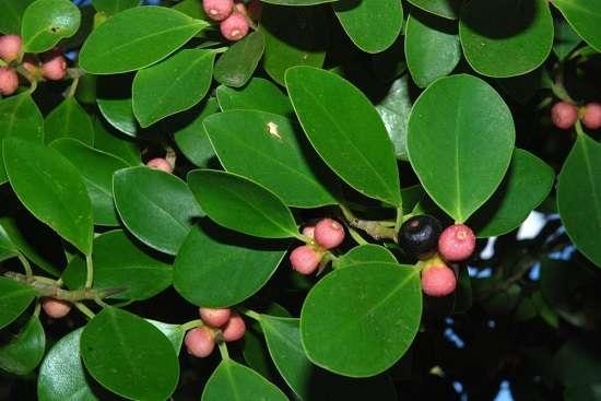 Công dụng của cây gừa, cây si