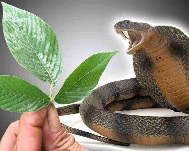 Cách điều trị rắn độc cắn bằng cây thuốc nam quanh ta