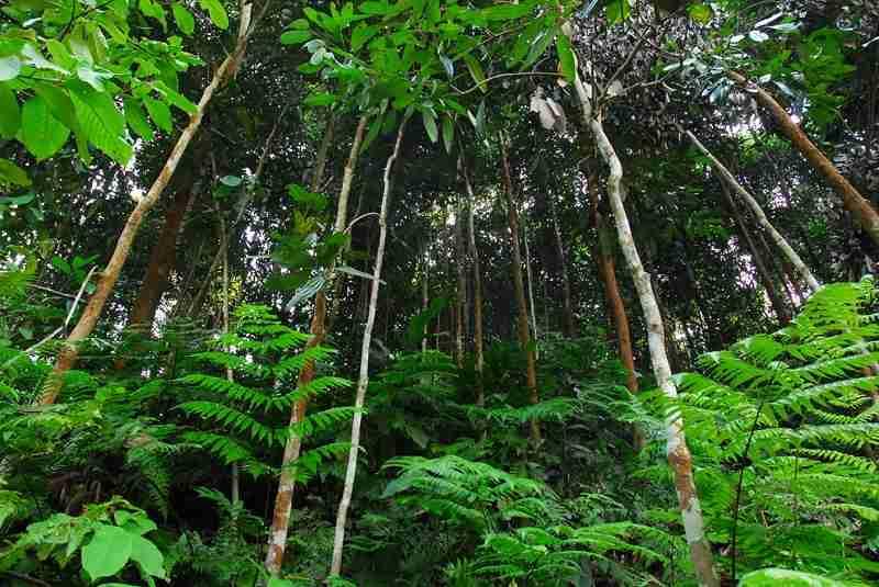 Rừng trồng cây quế