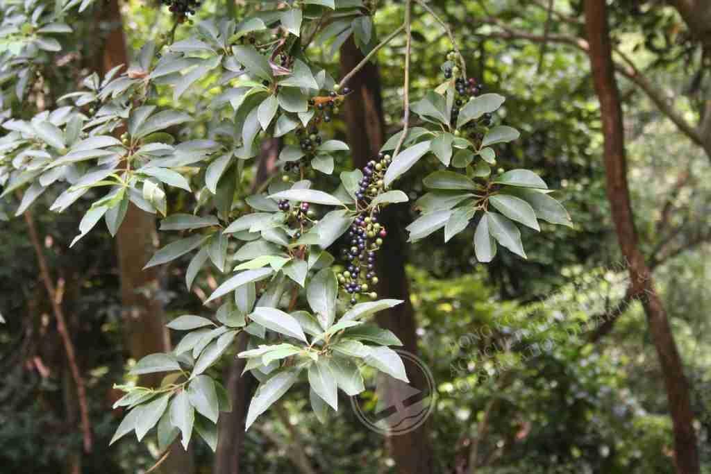 Hình ảnh cây màng tang