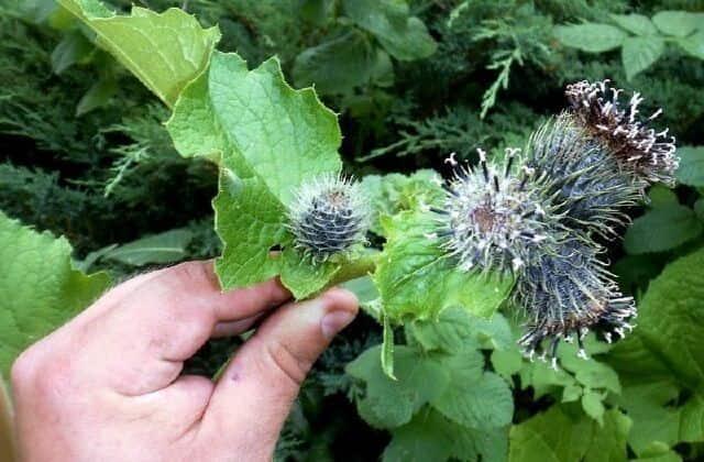Công dụng của cây vân mộc hương