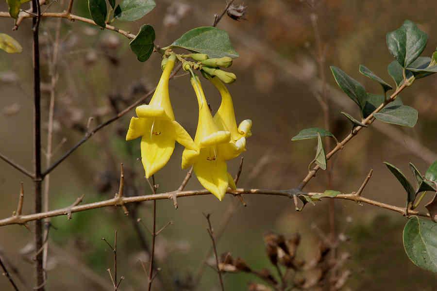 Hình ảnh hoa cây tu hú