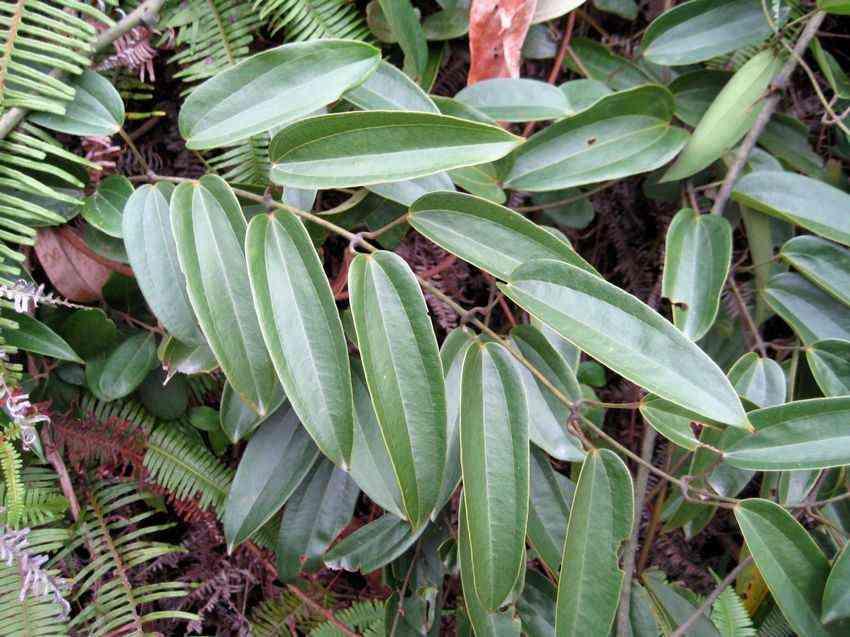 Hình ảnh của cây củ nâu