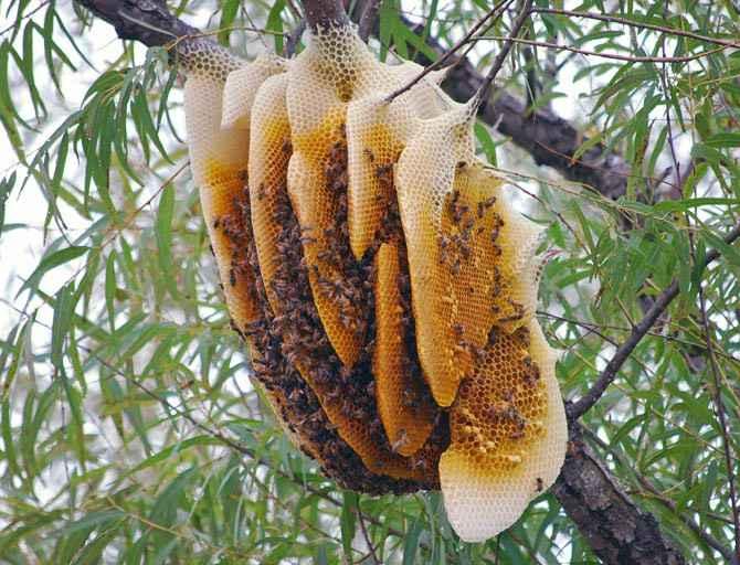 mật ong rừng và mật ong nuôi loại nào tốt hơn