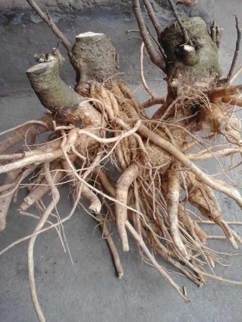 Công dụng của rễ đinh lăng