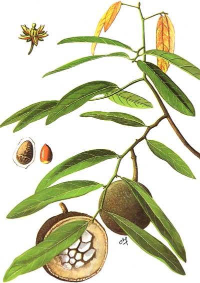 Hình ảnh cây đại phong tử