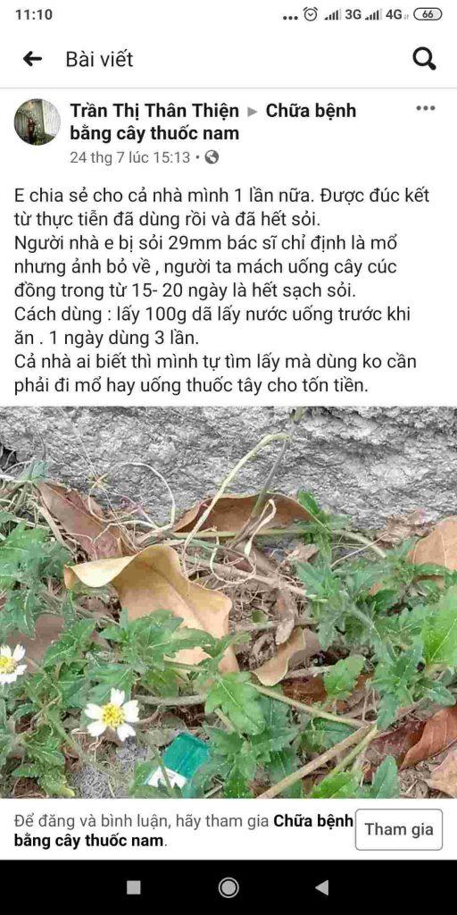 Bài viết về cây cúc đồng