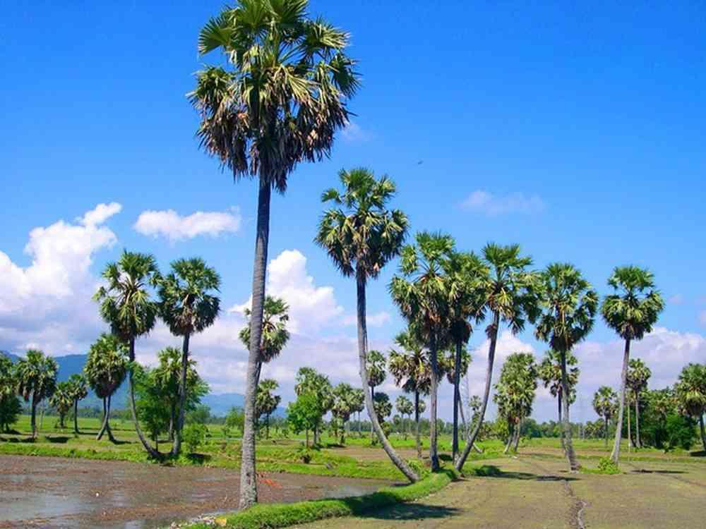 Hình ảnh đẹp về cây thốt nốt