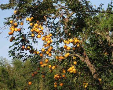 Công dụng của cây hồng rừng
