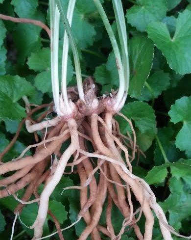 rễ sâm cuốn chiếu