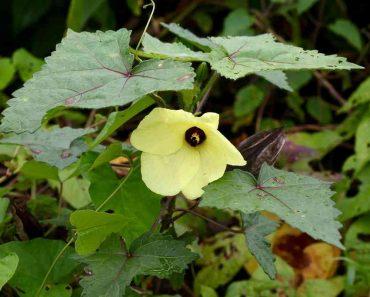 Hình ảnh hoa cây vông vang