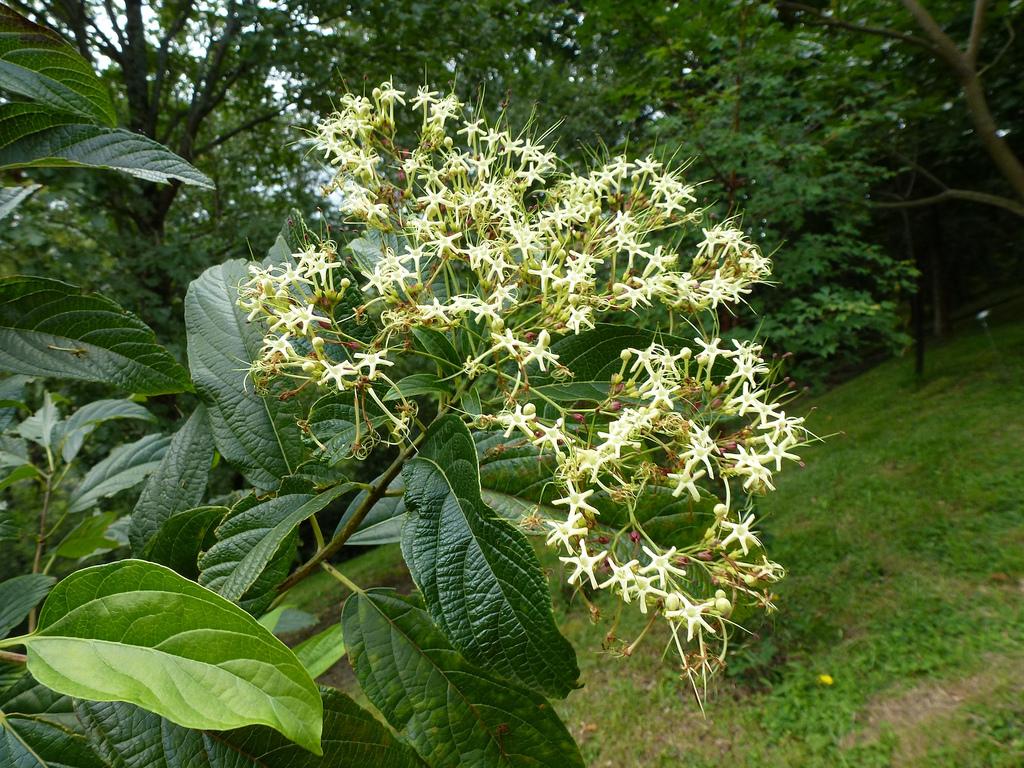 Hình ảnh lá và hoa cây bọ mẩy