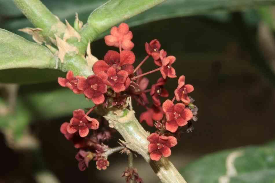 Hình ảnh hoa lưỡi nhân hoa cam xũng