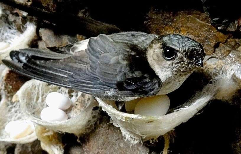 Hình ảnh chim yến và tổ yến