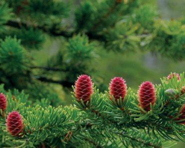 Công dụng của cây thông đỏ