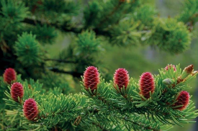 Cây thông đỏ và loại tinh dầu thông đỏ trị ung thư nối tiếng thế giới