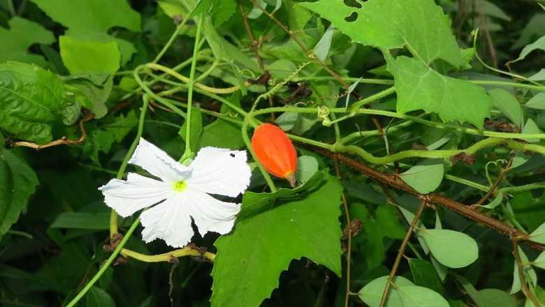 Dây cứt quạ hay quả hoa cây cứt quả