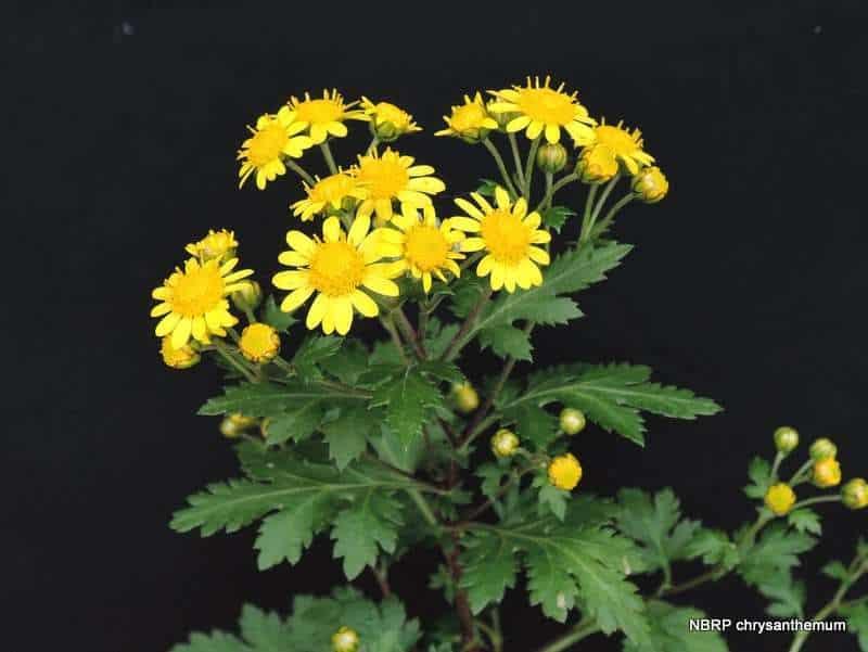 Công dụng của hoa cúc vàng