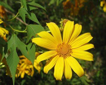 hoa cây dã quỳ rất đẹp