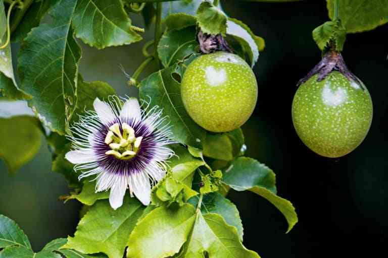 Hoa và quả chanh dây