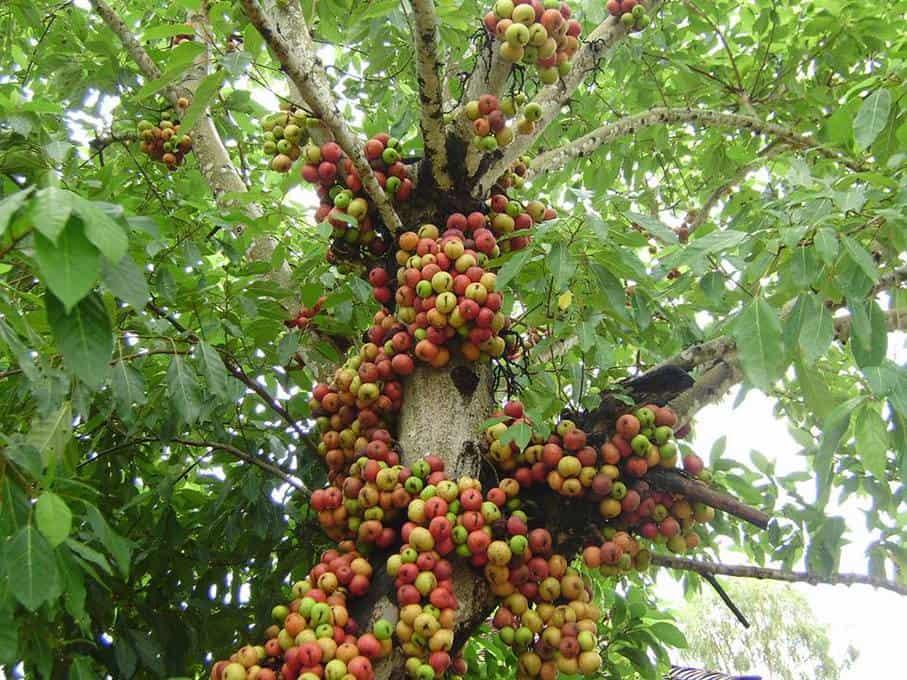 Hình ảnh quả sung cây sung cây thuốc nam lợi sữa