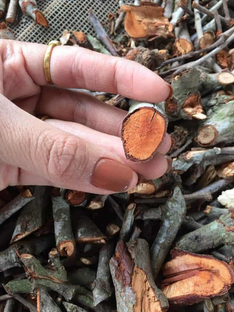 Hình ảnh cây tầm gửi gạo phơi khô
