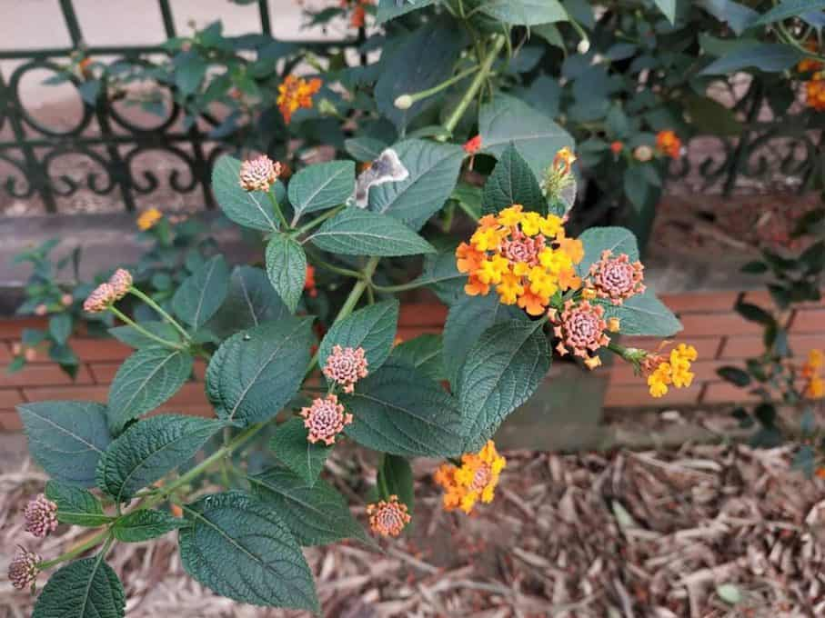 Cây hoa ngũ sắc