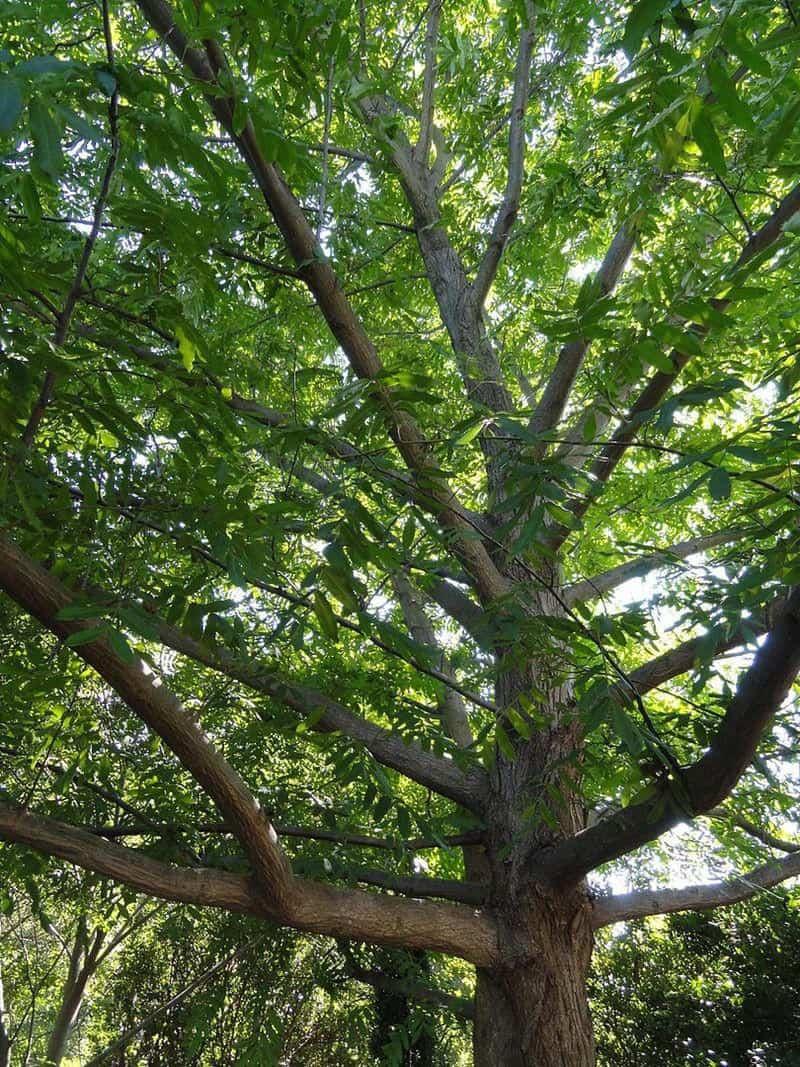 Hình ảnh cây cơi