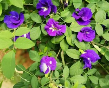 Hoa đậu biếc công dụng gì
