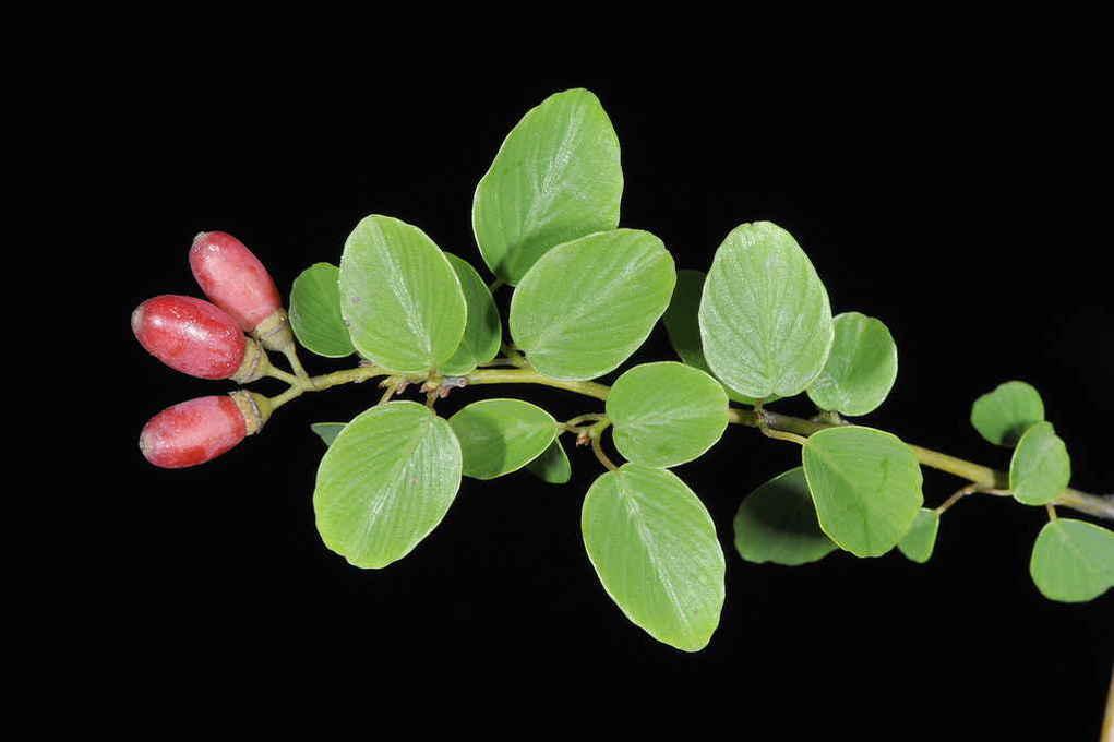 Lá và quả rung rúc